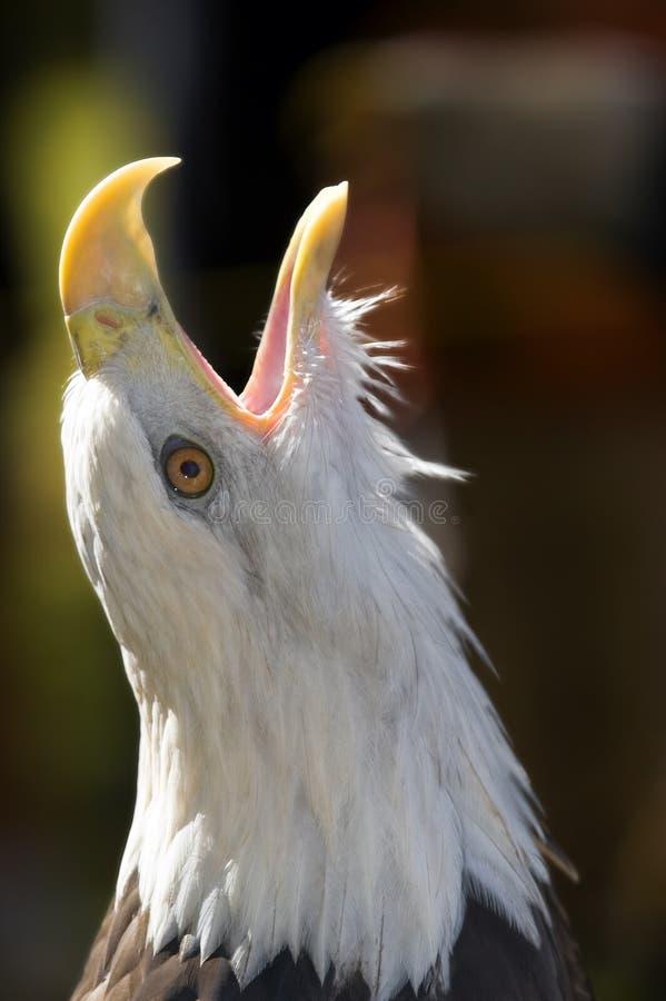 Cri perçant d'aigle chauve (leucocephalus de Haliaeetus) images libres de droits