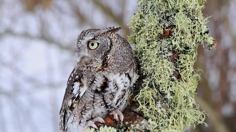 Cri strident oriental Owl Video - fin  banque de vidéos