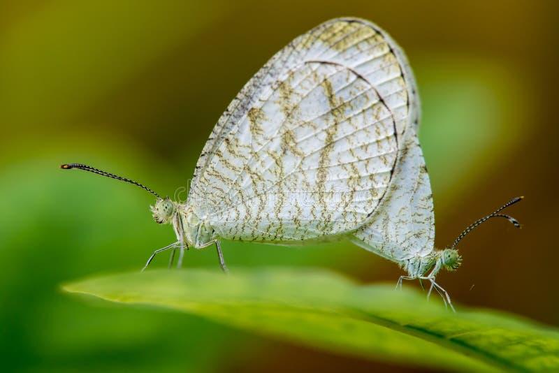 A criação de animais da borboleta imagens de stock royalty free