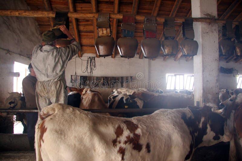 Criação de animais de gado fotografia de stock