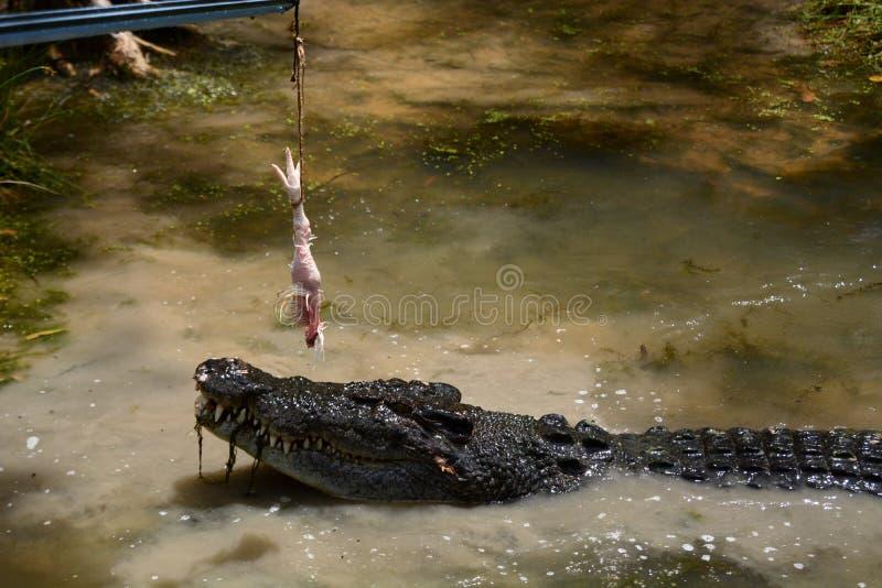 Cria??o de animais do crocodilo Explora??o agr?cola do crocodilo de Hartley Wangetti Condado de Douglas queensland austr?lia imagem de stock royalty free