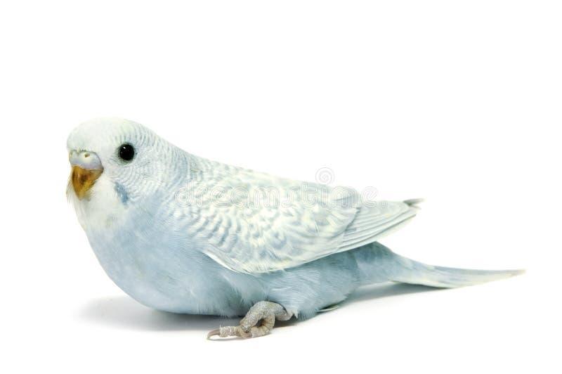 Criação de animais do Parakeet imagem de stock