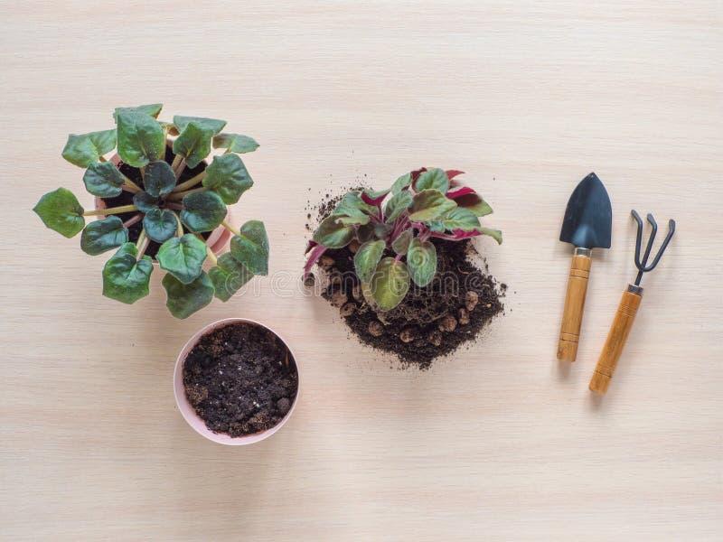 Criação de senpolia Floricultura interior Transplante de plantas interiores foto de stock