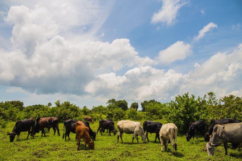 Cria??o de animais de gado Rebanho do gado africano husbandry vacas Paisagem bonita Fim acima foto de stock