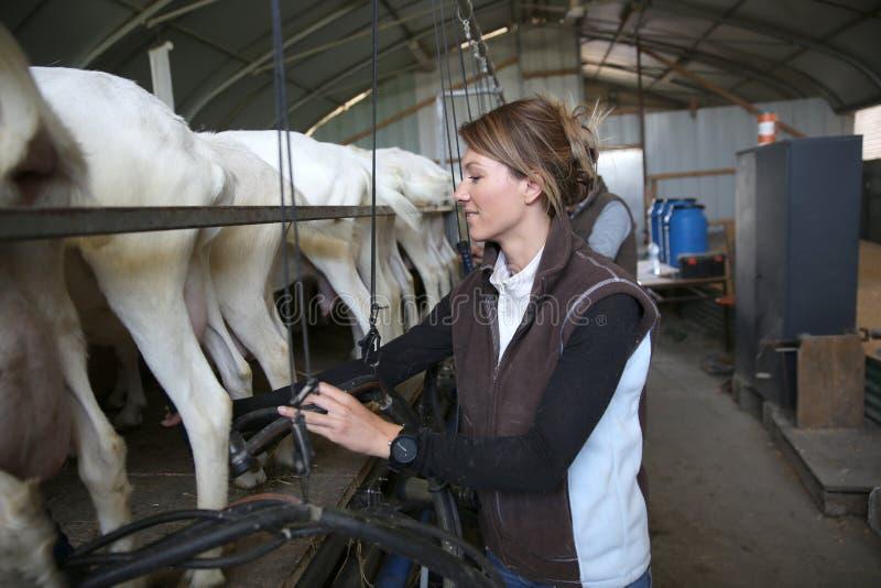 Criador de la mujer que recoge la leche de la cabra fotos de archivo