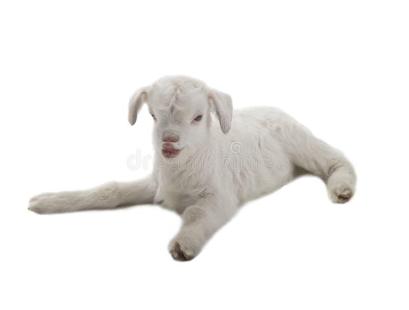 Criança da cabra fotos de stock royalty free