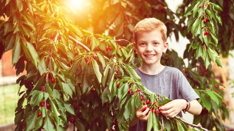 Criança de Smilling que escolhe cerejas vermelhas da árvore no jardim em casa no dia de verão imagens de stock