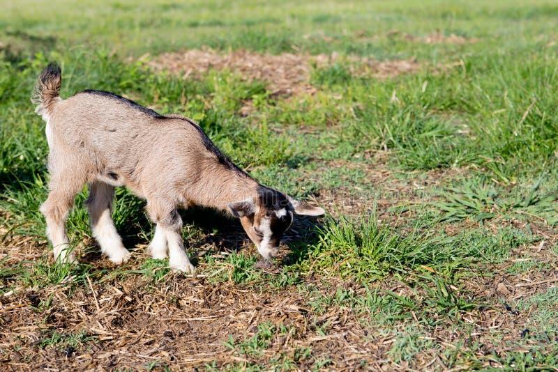 Criança diminuta nova da cabra no campo imagens de stock royalty free