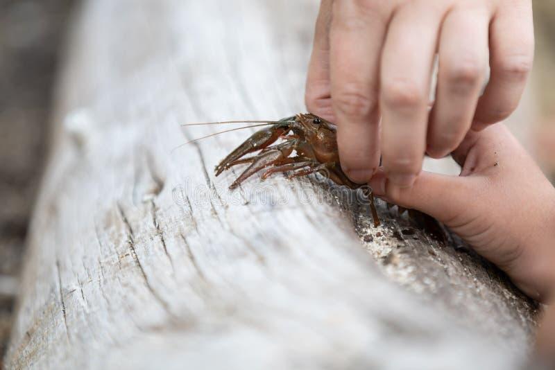 Criança e adulto que guardam lagostas foto de stock