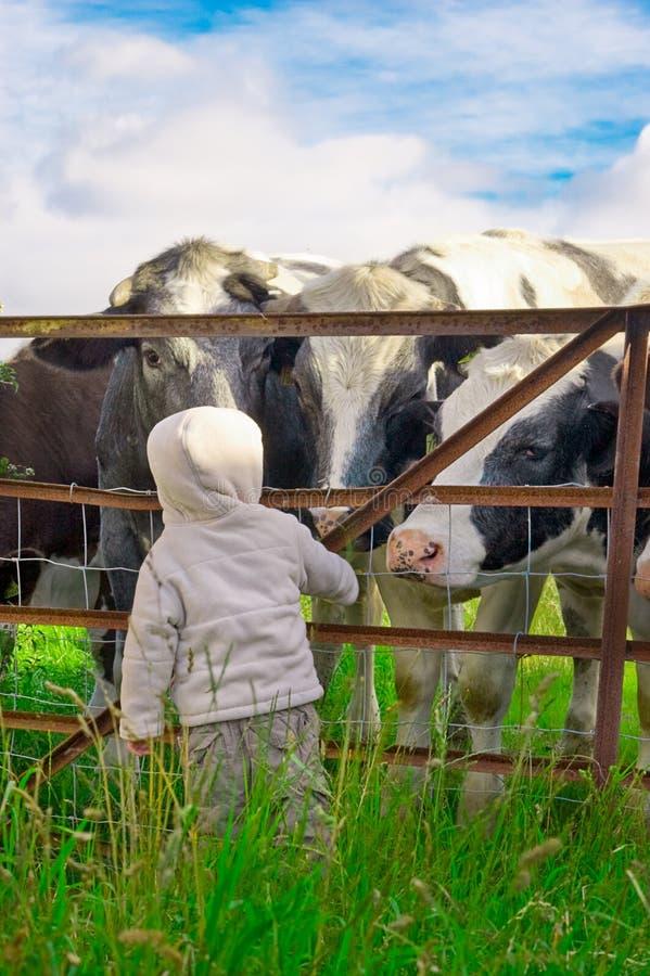 Criança e vacas foto de stock