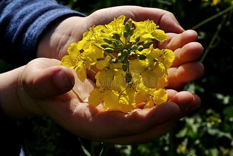 A criança entrega guardar a flor da colza (napus do brassica) no campo imagem de stock royalty free