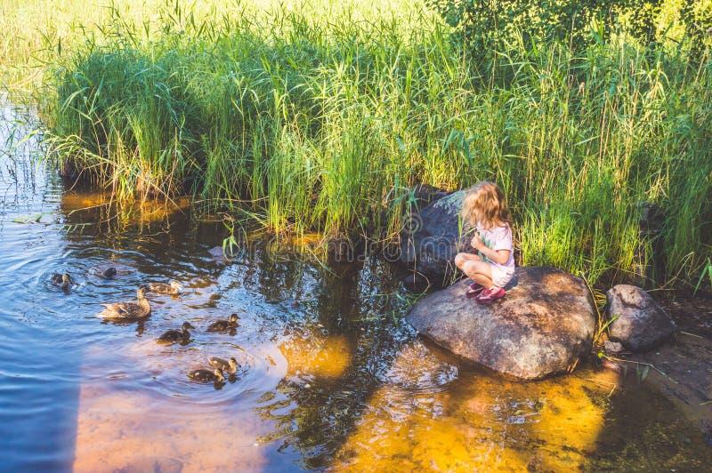 A criança está alimentando os patos no rio, patos nos juncos foto de stock