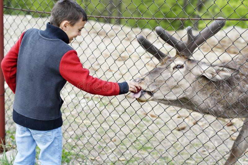 Criança feliz que alimenta um cervo do jardim zoológico fotos de stock royalty free