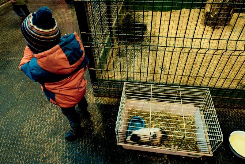 A criança no jardim zoológico de trocas de carícias com cobaias e coelhos fotos de stock
