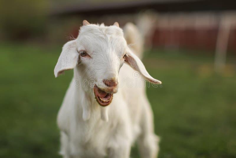 Criança nova da cabra que olha na câmera, com a boca aberta, dentes pequenos visíveis imagem de stock