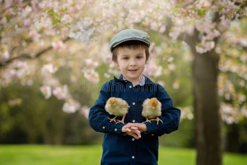 Criança pré-escolar adorável bonito, menino, jogando com pintainhos pequenos foto de stock royalty free