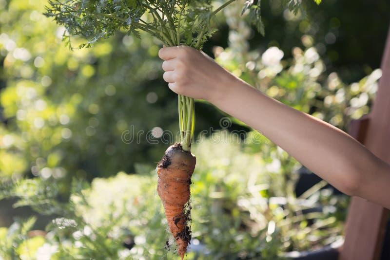 Criança que sustenta uma cenoura recentemente colhida fotos de stock