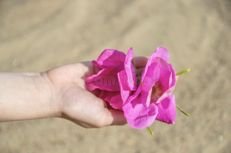 Crianças, as mãos delicadas das mulheres com botões e as pétalas de flores cor-de-rosa selvagens contra a areia imagem de stock royalty free