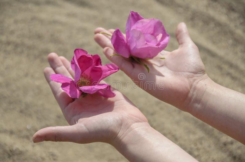 Crianças, as mãos delicadas das mulheres com botões e as pétalas de flores cor-de-rosa selvagens contra a areia foto de stock royalty free