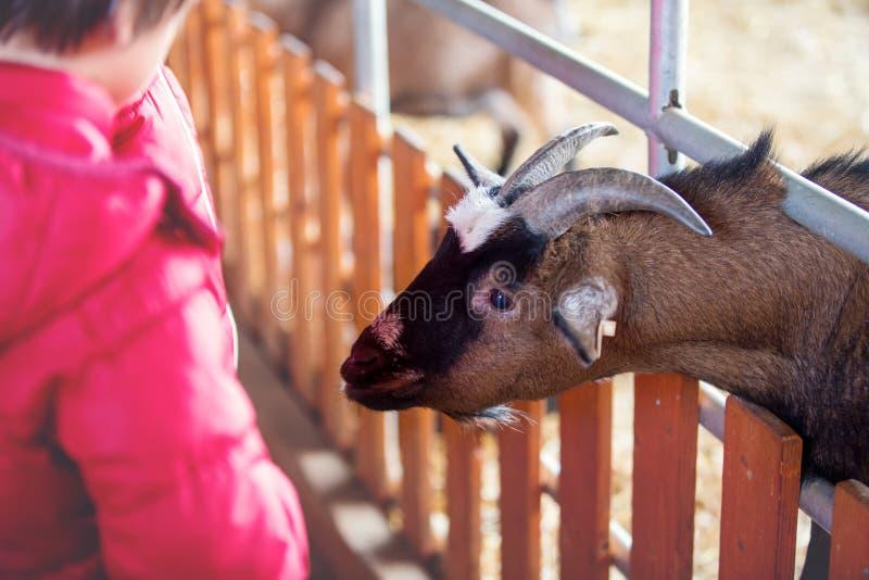 Crianças, cabras de alimentação em uma interação da exploração agrícola, do criança e a animal imagens de stock royalty free