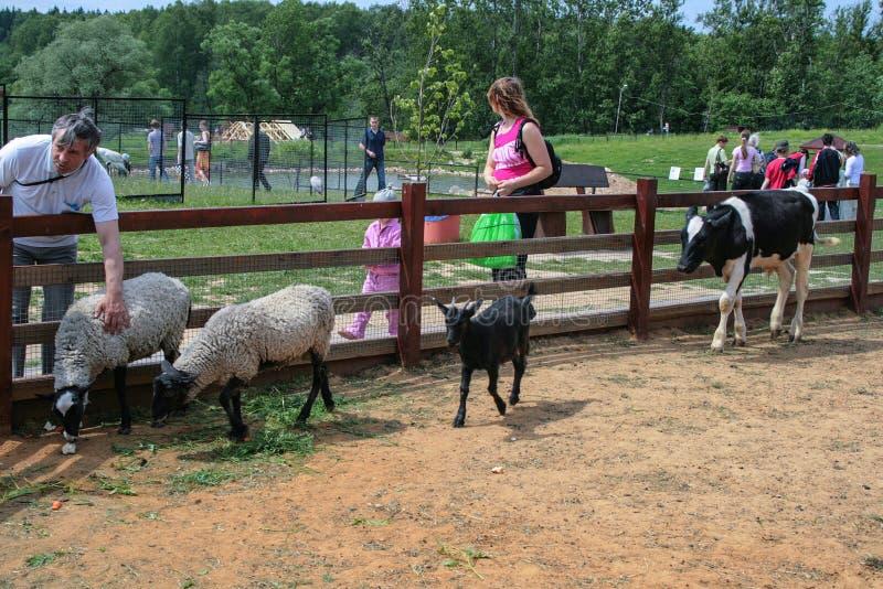 Crianças com pais na exploração agrícola de gado Animais e seus bebês pela cerca na exploração agrícola imagem de stock