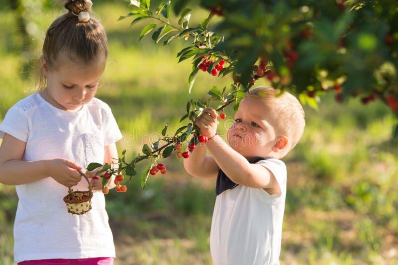 Crianças que escolhem a cereja fotos de stock