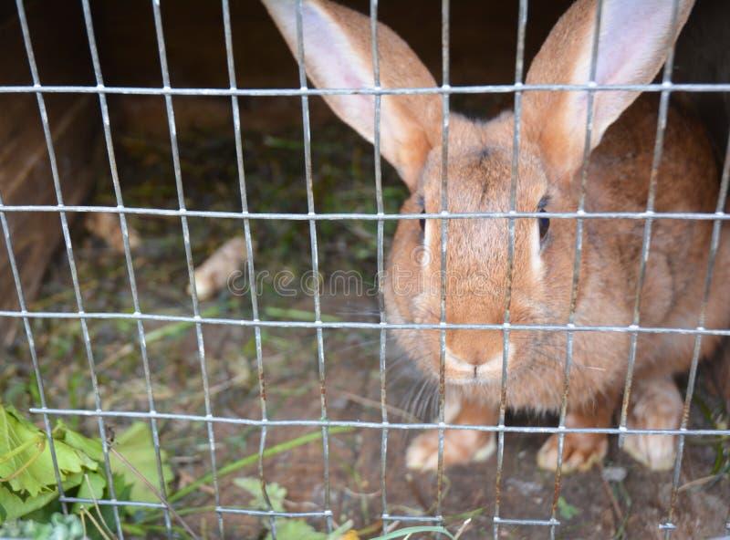 Criando conejos en casa en jaula del conejo foto de archivo
