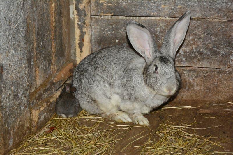 Criando y criando conejos foto de archivo libre de regalías