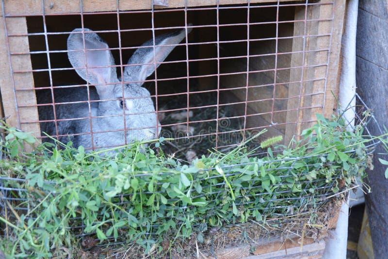 Criando y criando conejos en la granja foto de archivo