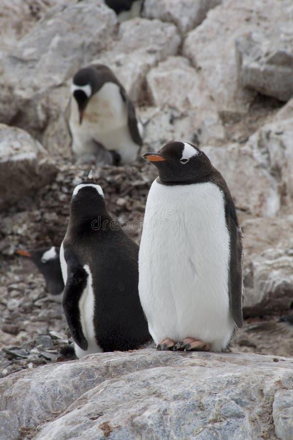 Crianza de los pingüinos de Gentoo, Ant3artida. imagen de archivo