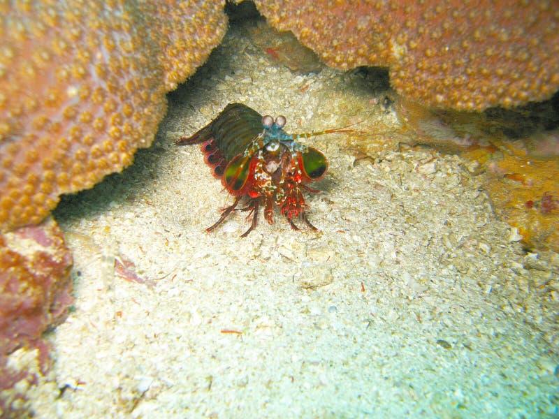 Criatura do mar no recife coral foto de stock