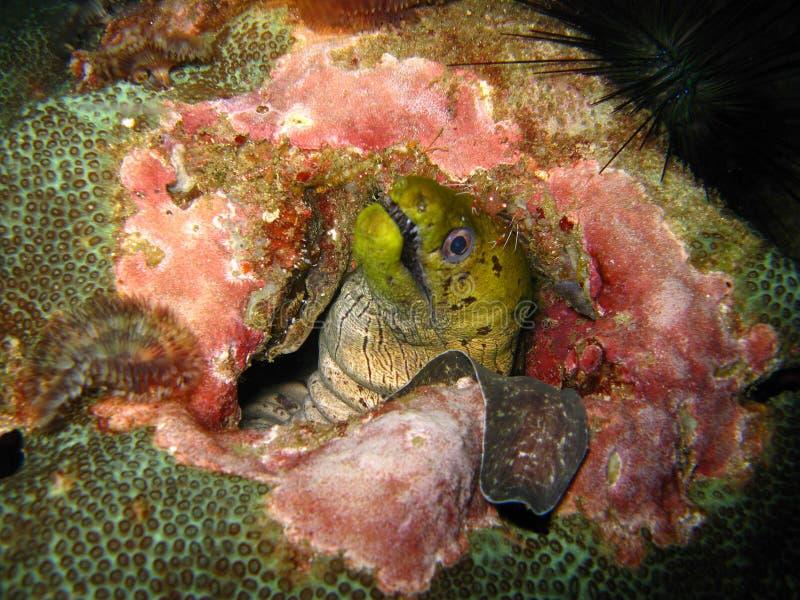 Criatura marinha no recife coral imagem de stock royalty free