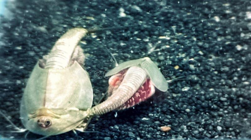 A criatura pré-histórica de vida chamou o camarão de Triops ou de girino fotografia de stock royalty free