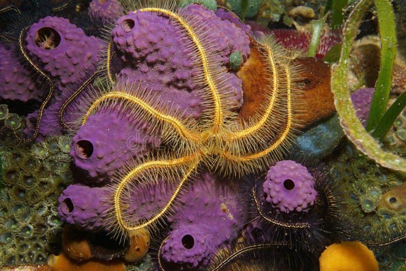 Criatura subaquática uma estrela frágil sobre a esponja foto de stock
