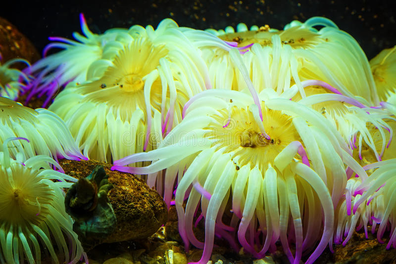 Criaturas coloridas surpreendentes do mar do annamensis de Tiger Anemone Nemanthus subaquáticas Fundo natural incrível foto de stock