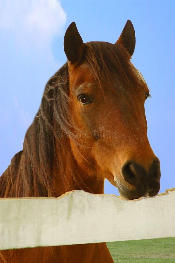 cribbing häst royaltyfri bild