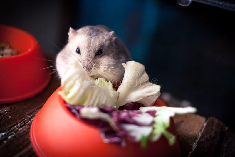 Criceto grigio che mangia la sua insalata fotografia stock