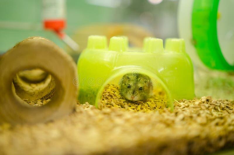 Criceto miniatura in un negozio di animali fotografia stock libera da diritti