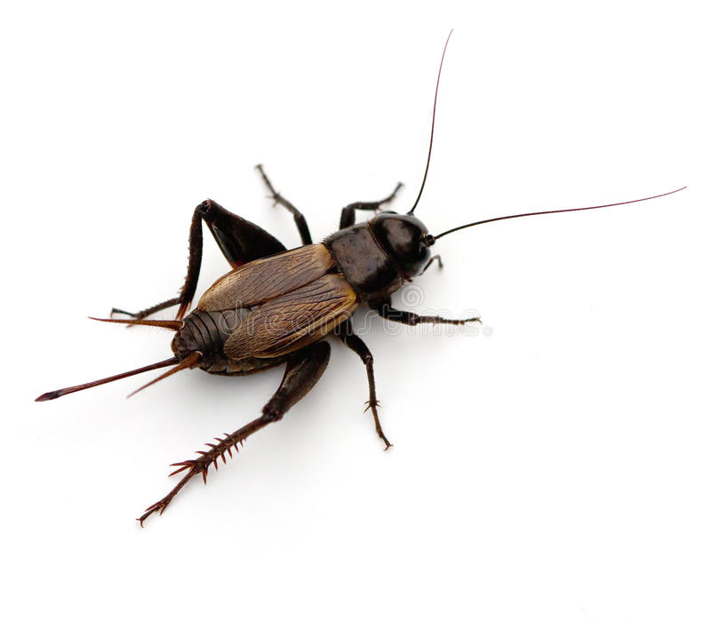 Download Cricket stock image. Image of cricket, gryllus, insect - 19104079