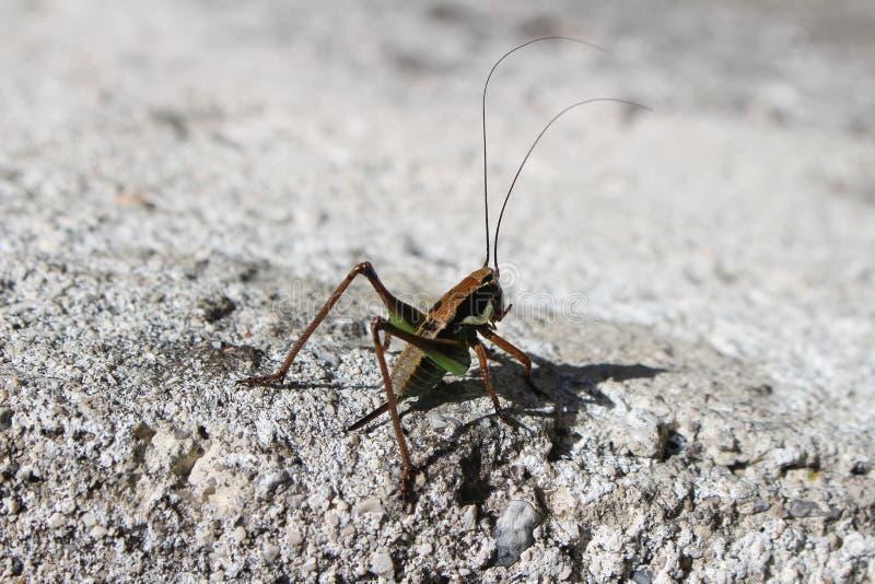 cricket photographie stock