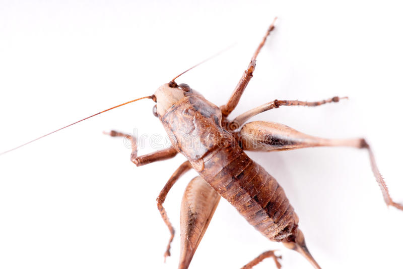 Cricket Beetle stock images