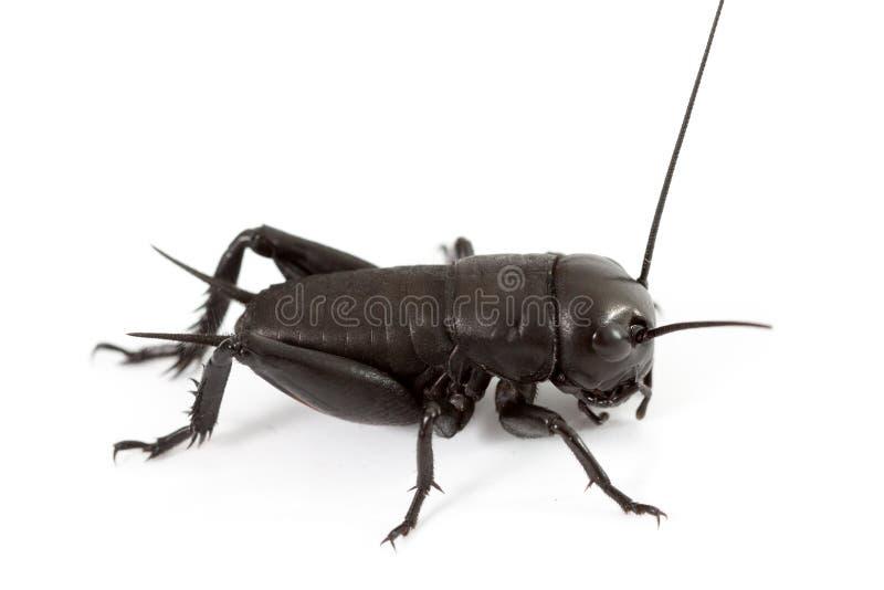 Cricket d'isolement sur le blanc photographie stock libre de droits