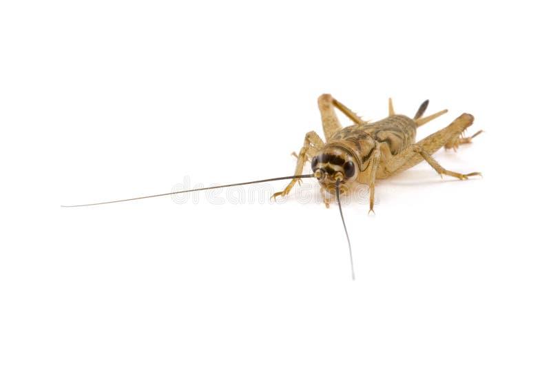 Cricket d'isolement sur le blanc image stock