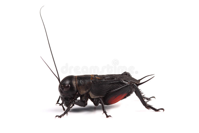 Cricket de champ sur le blanc photographie stock