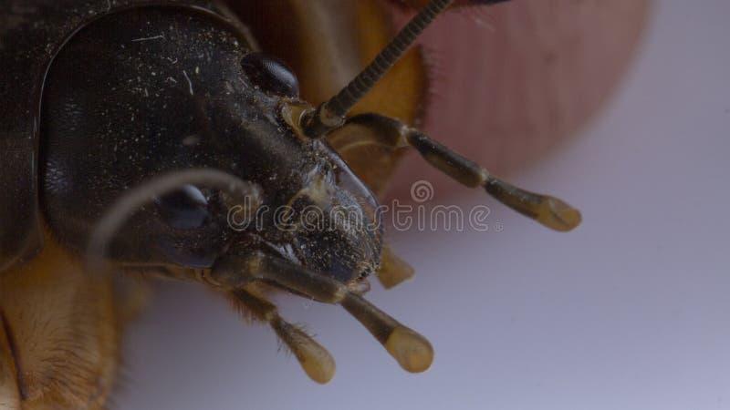 Cricket de taupe de gryllotalpa de Gryllotalpa dans la main humaine photographie stock