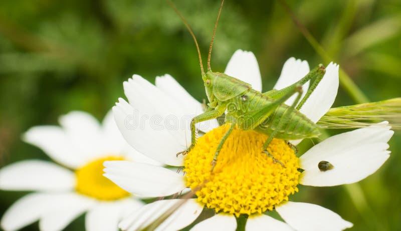 Cricket di Bush sul fiore di tomentosa di Camomilla fotografia stock