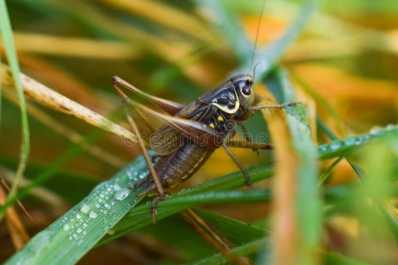 Cricket di Roesel's cespuglio fotografia stock libera da diritti