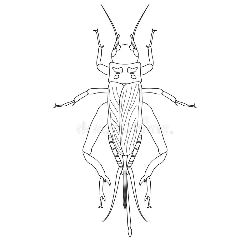 Cricket. grig. Gryllus campestris. Sketch of cricket. cricket isolated on white background. cricket Design for coloring book. hand-drawn cricket. Vector vector illustration