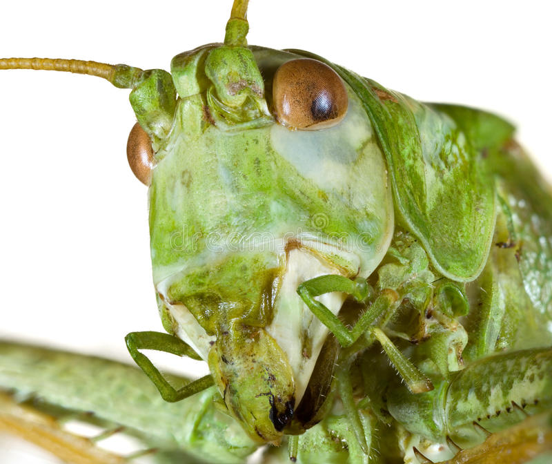 Cricket Head royalty free stock images