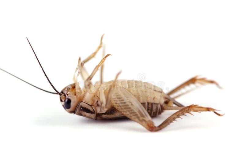 Cricket mort images libres de droits